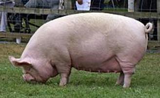 які є породи свиней фото