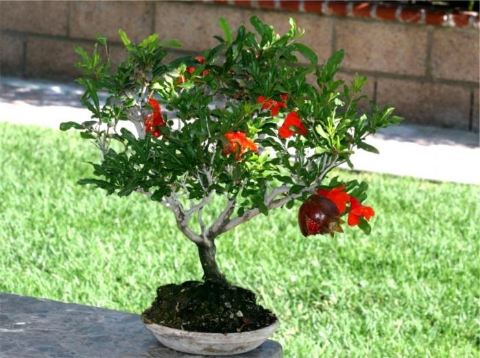 растение гранат в домашних условиях фото