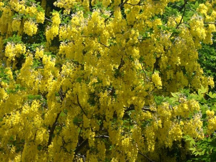 Фото золотий дощ фото 791-376