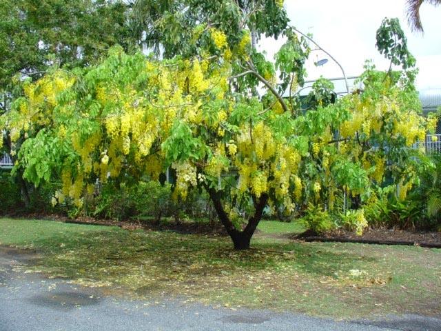 Фото золотий дощ фото 791-155