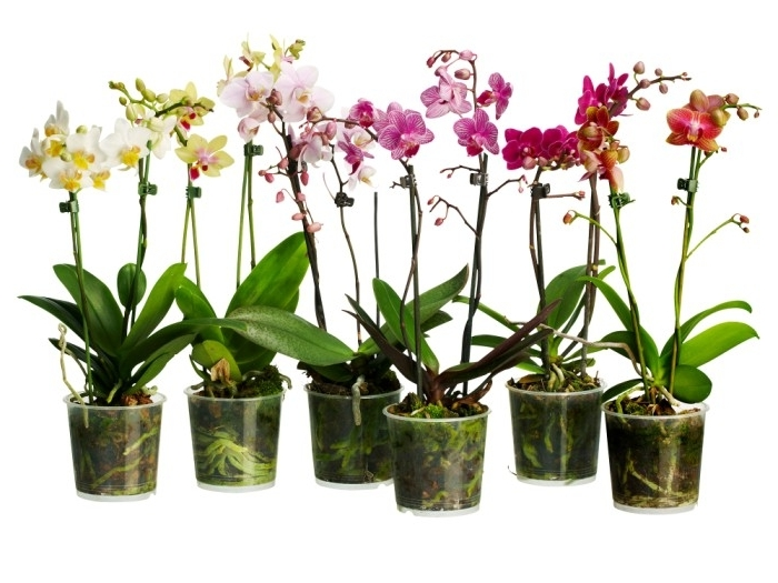 Уход за орхидеей в домашних условиях размножение детками 170