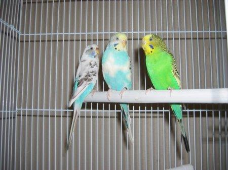 Правила ухода за волнистыми попугаями