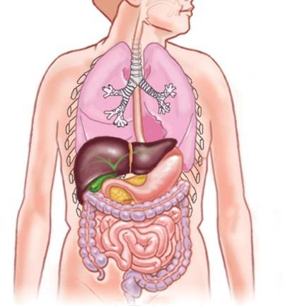людини внутрішні органи фото