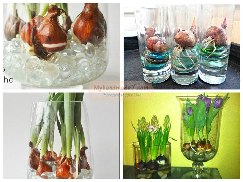 Как выращивать тюльпан в домашних условиях 58
