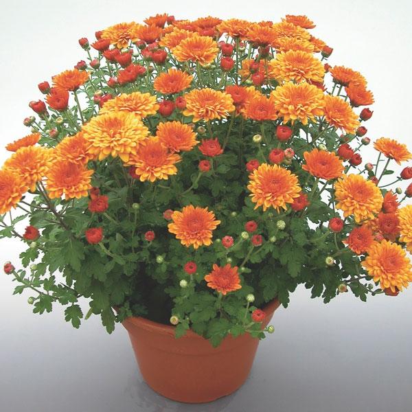 Индийская хризантема уход в домашних условиях