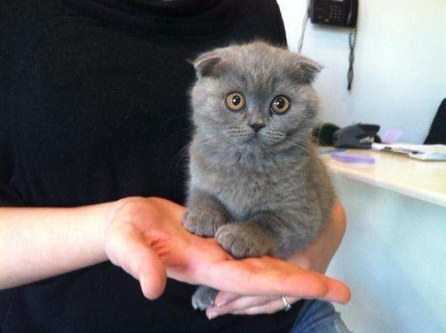 Чем кормить британскую вислоухую кошку в домашних  432
