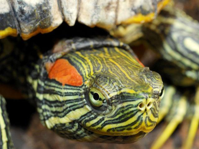 Красноухая черепаха тяжело дышит
