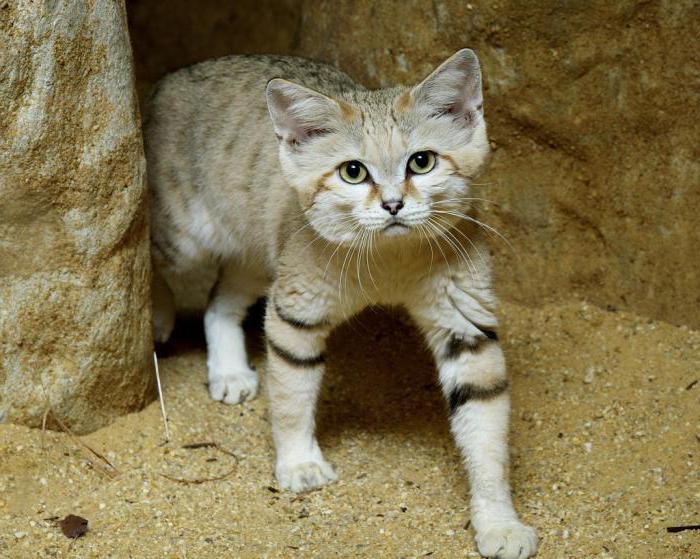 простые понятные, барханный кот купить киев приставов Новобурейске Отделы