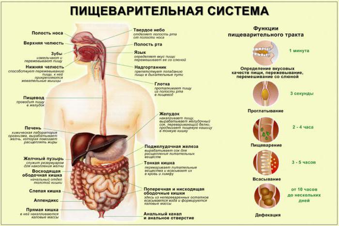 Внутрішні органи людини: схема
