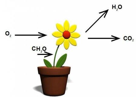 Дихання рослин: харчування, органи, фотосинтез