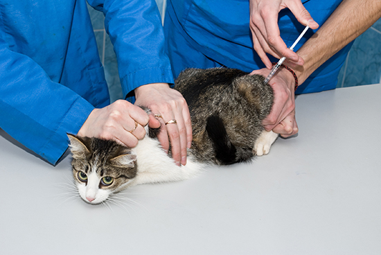 Как коту сделать укол в лапу 227